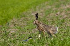 Hare On Green Field Stock Photography