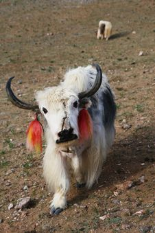 Free Chinese Yak Royalty Free Stock Image - 14959956