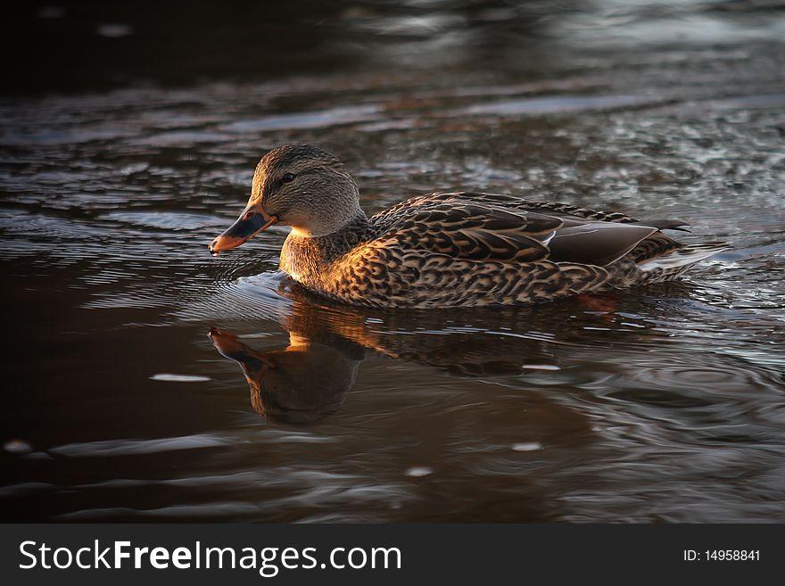 A female mallard duck