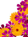 Free Flowers  Camomiles Stock Image - 14964091
