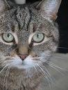 Free Gray Tabby Cat Face Stock Image - 14967661