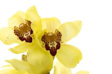Free Orchid Royalty Free Stock Photos - 14961108