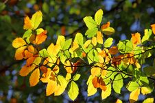 Free Autumn Leaves Royalty Free Stock Images - 14961109