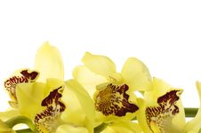 Free Orchid Royalty Free Stock Photo - 14961115