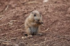 Free Baby Marmot (Prairie Dog, Gopher) Eating Straw Royalty Free Stock Photography - 14961137