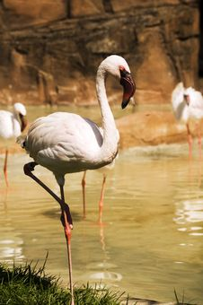 Free Greater Flamingo Stock Images - 14962124