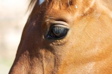 Free Horse - Detail Royalty Free Stock Image - 14964006