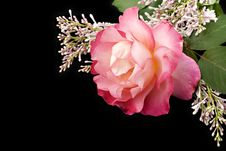 Free Pink Rose On Black Stock Photo - 14964110