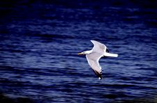 Free Seagull Flying Left Royalty Free Stock Photos - 14964168