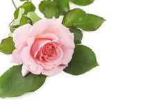 Free Pink Rose Stock Photos - 14964283