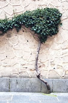 Free Tree Growing On The Wall Stock Photos - 14965043