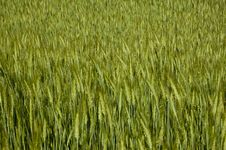 Free Grain Royalty Free Stock Photos - 14965518