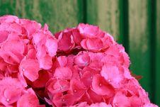 Free Hydrangea Stock Image - 14966291