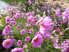 Free Natural Pink Cosmos Royalty Free Stock Photo - 14966455