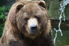 Kodiak Bear Stock Photography