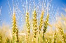 Free Ears Of Wheat Stock Image - 14966831