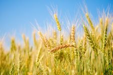 Free Ears Of Wheat Stock Images - 14966844