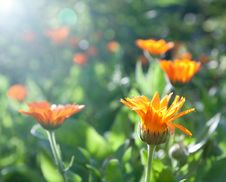 Free Calendula Morning Royalty Free Stock Photos - 14967178