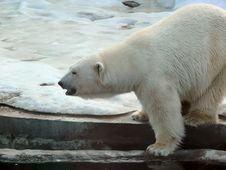 Free Polar Bear. Stock Images - 14967204