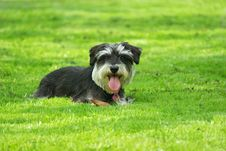 Free Schnauzer On The Lawn Royalty Free Stock Photography - 14967597