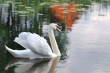 Free Portrait Of White Swan Stock Photos - 14967653