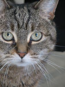 Gray Tabby Cat Face Stock Image