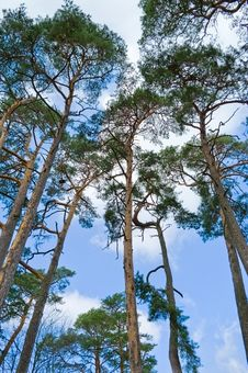 Free Pine Trees. Stock Photo - 14968260
