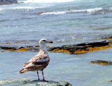 Free Seagull Closeup Stock Image - 14968301