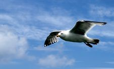 Free Seagull In Flight Royalty Free Stock Image - 14968546
