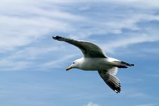 Free Seagull In Flight Royalty Free Stock Images - 14968599