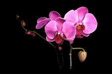 Colorful Pink Orchid On Black Stock Photography