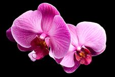 Colorful Pink Orchid Closeup Royalty Free Stock Photos