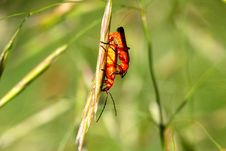 Free Common Red Soldier Beetle Stock Image - 14969991