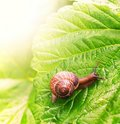 Free Snail Sitting On Green Leaf Royalty Free Stock Photos - 14979488