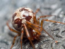Fat Brown Spider Royalty Free Stock Photo