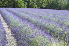 Free Lavender Field Stock Photos - 14970213