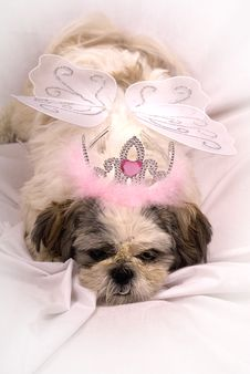 Free Shih Tzu Dressed As A Fairy Stock Photos - 14970883