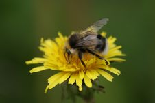 Free Fluffy Bumble Bee On Yellow Dandelion Royalty Free Stock Photo - 14970895