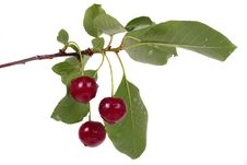 Free Fresh Ripe Cherries With The Branch Stock Photos - 14973203