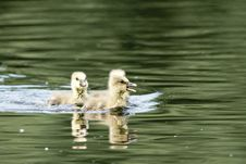 Free Three Greylag Goose Goslings Royalty Free Stock Photo - 14973565
