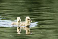 Three Greylag Goose Goslings Royalty Free Stock Photo