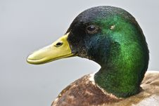 Free Drakes Head Stock Image - 14973951