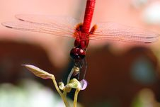 Free Red Dragonfly Royalty Free Stock Photography - 14975877
