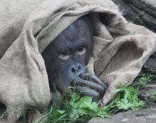 Free Baby Orangutan Stock Photos - 14976863
