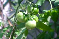 Free Young Tomato Plant Stock Photography - 14977032