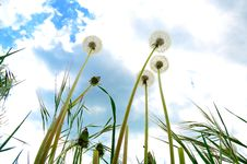 Free Dandelions Stock Image - 14979061