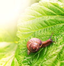 Snail Sitting On Green Leaf Royalty Free Stock Photos