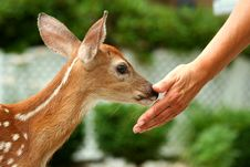 Free Young Fawn And Human Hand Royalty Free Stock Photos - 14979828