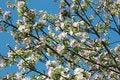 Free Spring Apple Tree Blossom Closeup Royalty Free Stock Photography - 14989167