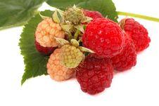 Free Branch Raspberry Royalty Free Stock Photo - 14980755